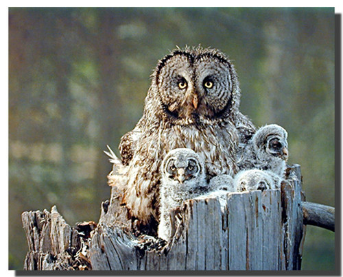 Great Grey Owl Family Posters
