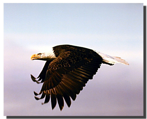 Eagle in Flight Posters