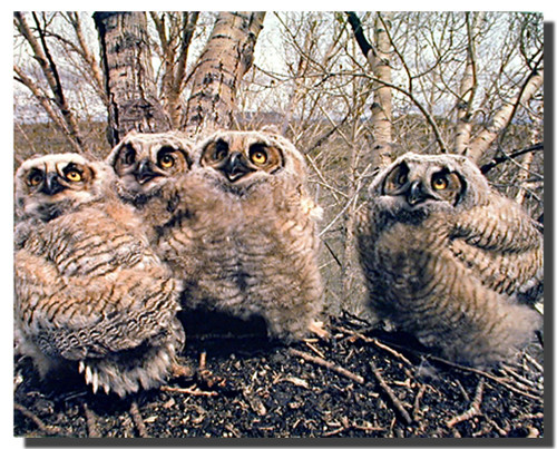 Great Horned Owls Posters
