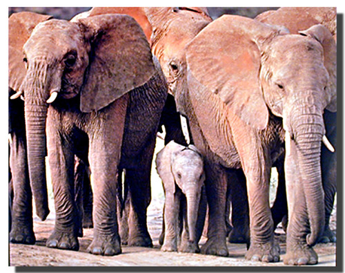Elephant Herd Print and Poster
