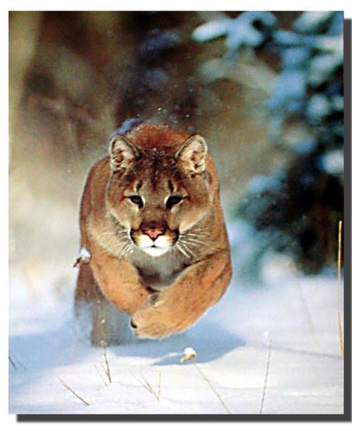Charging Mountain Lion Poster