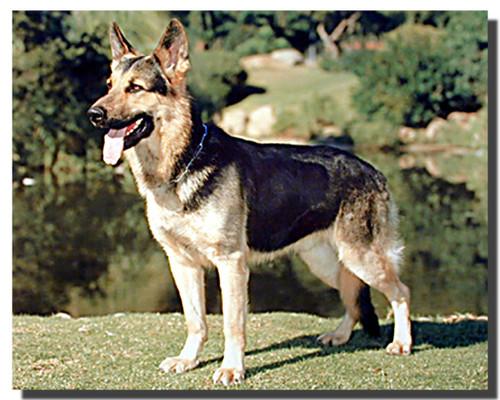 German Shepherd Standing Poster