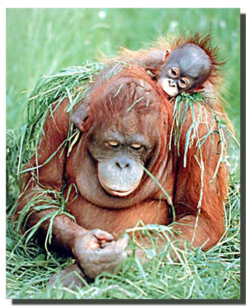 Orangutan and Young Poster