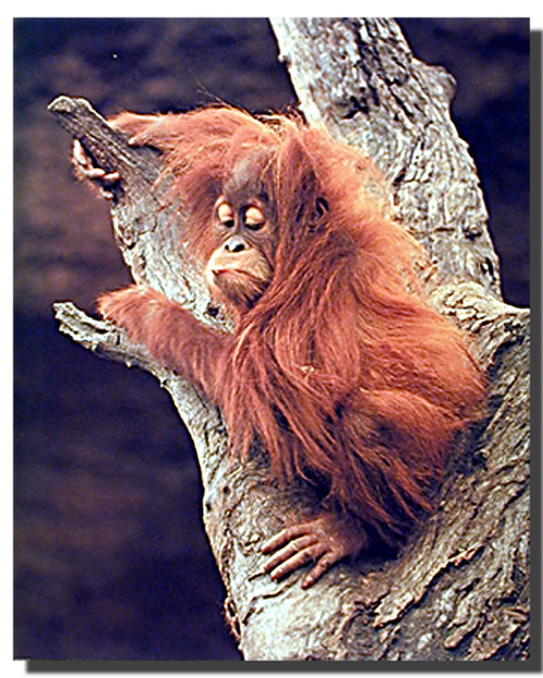 Orangutan Posters