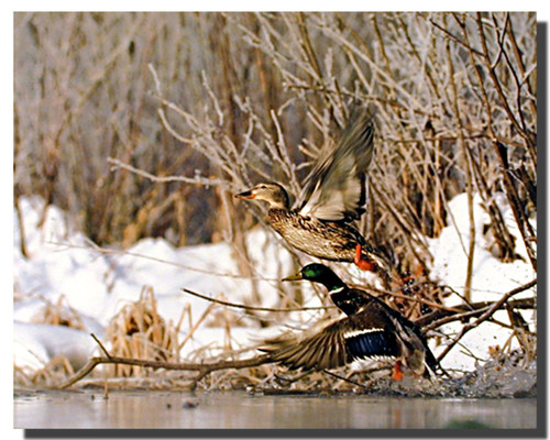 Mallard Duck Pair Flight Poster