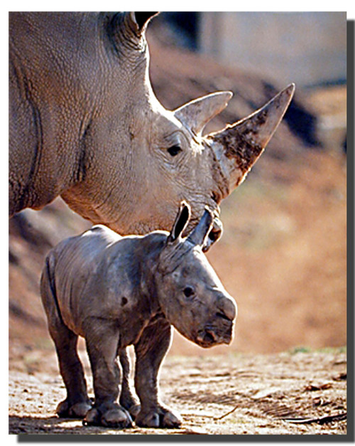Baby White Rhinoceros Poster
