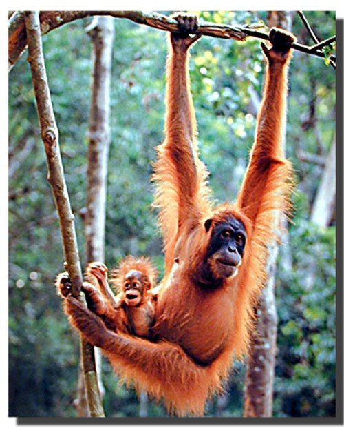 Orangutan and Baby Poster