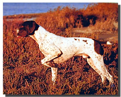 Pointer Dog Poster