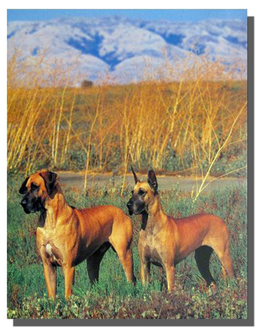 Two Great Danes Poster