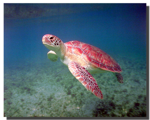 Green Sea Turtle Posters