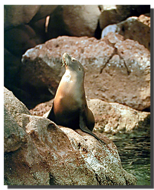 Sea Lion Posters