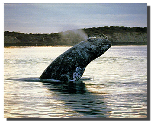 Grey Whale Calf Posters