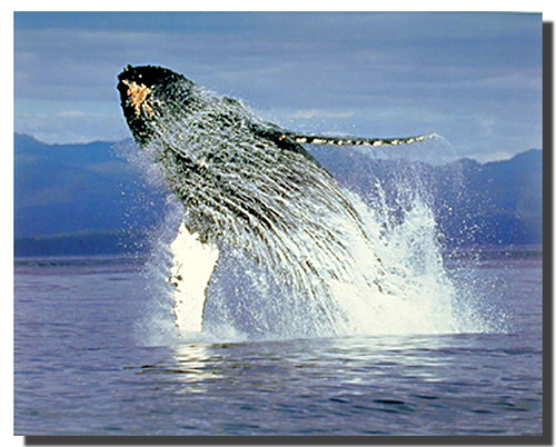 Humpback Whale Posters