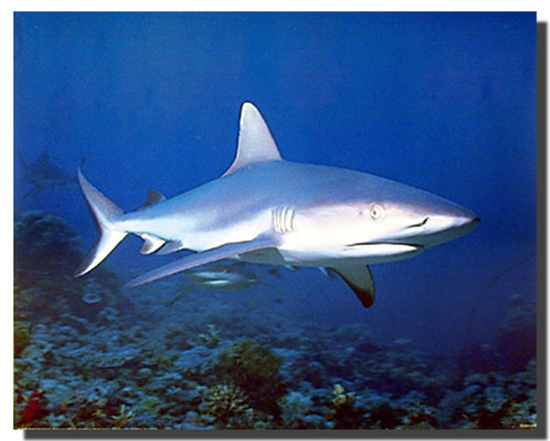 Tiger Shark Posters