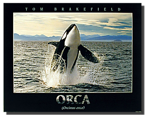 Orca Breathing Poster