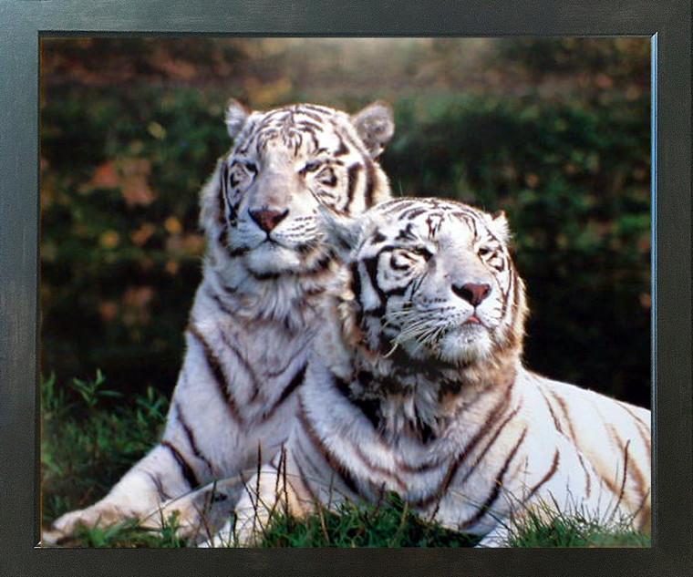 Wild White Bengal Tiger Wildlife Animal Wall Decor Espresso Framed Picture Art Print (20x24)