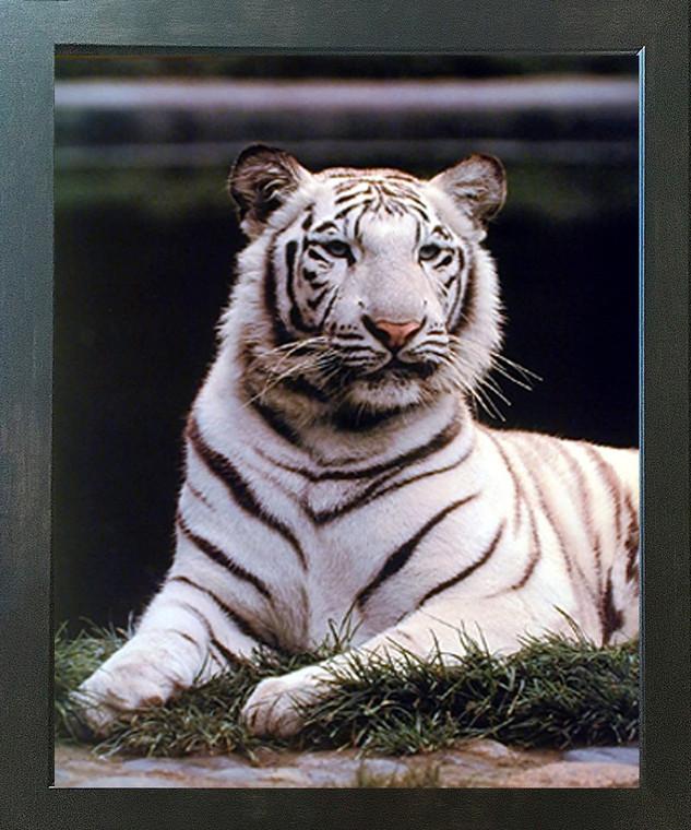 Wild White Bengal Tiger Wildlife Big Cat Animal Wall Decor Espresso Framed Picture Art Print (20x24)