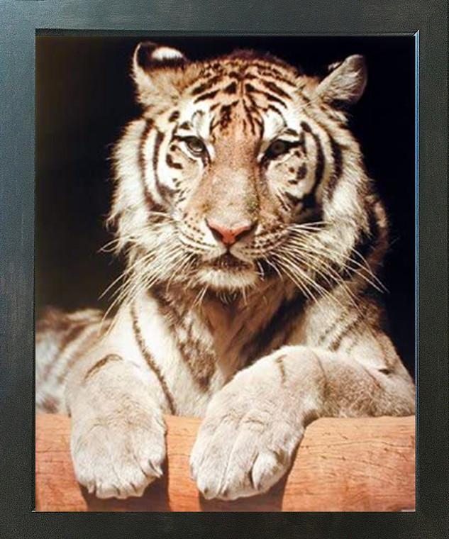 White Bengal Tiger Close-up Wildlife Feline Animal Wall Decor Espresso Framed Picture Art Print (20x24)