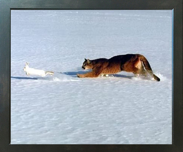 Cougar Chasing Rabbit in Snow Wildlife Animal Espresso Framed Wall Picture Art Print (20x24)