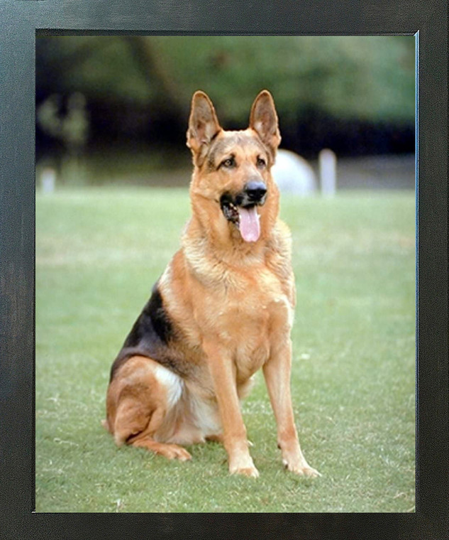 German Shepard Dog Animal Wall Decor Espresso Framed Picture Art Print (20x24)