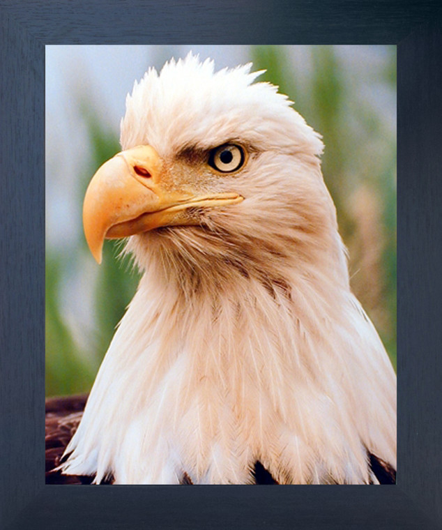 American Bald Eagle Bird Close Up Espresso Wildlife Animal Wall Decor Framed Picture Art Print (20x24)