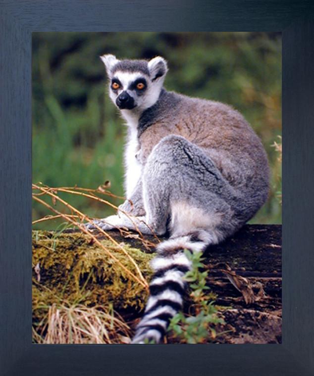 Ring Tailed Lemur Monkey Wild Animal Wall Decor Espresso Framed Picture Art Print (20x24)