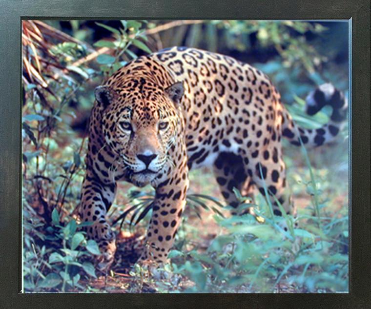 Jaguar (Panthera, Leopard) Prowling Cat Wildlife Animal Wall Decor Espresso Framed Picture Art Print (20x24)