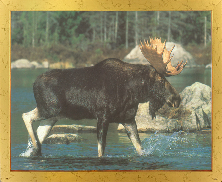 Alaskan Wild Moose Big Rack Crossing Lake Animal Wall Decor Golden Framed Art Print Poster (18X24)