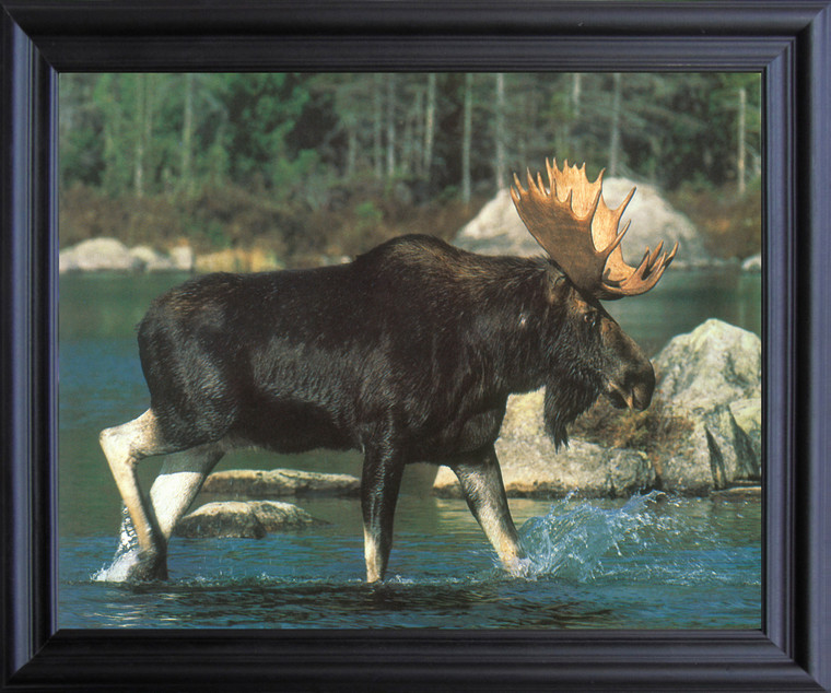 Alaskan Wild Moose Big Rack Crossing Lake Animal Wall Décor Black Framed Art Print Poster (19x23)