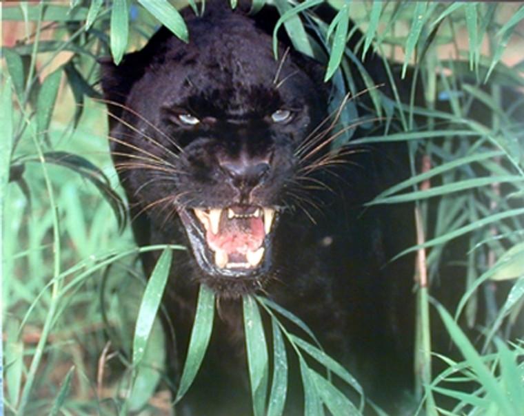 Panther Scary Black Leopard, Jaguar Animal Nature Wall Decor Art Print Poster (16x20)