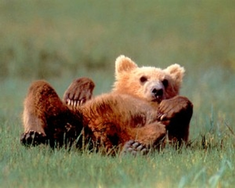 Grizzly Bear Cub Cute Animal Wildlife Nature Wall Decor Print Poster (16x20)