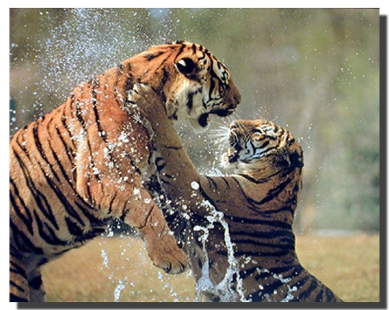 Tigers Fighting in the River Wildlife Animal Wall Decor Art Print Poster (16x20)