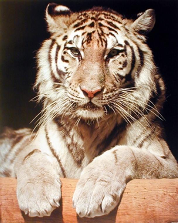 White Bengal Tiger Close-up Wildlife Feline Animal Wall Decor Art Print Poster (16x20)