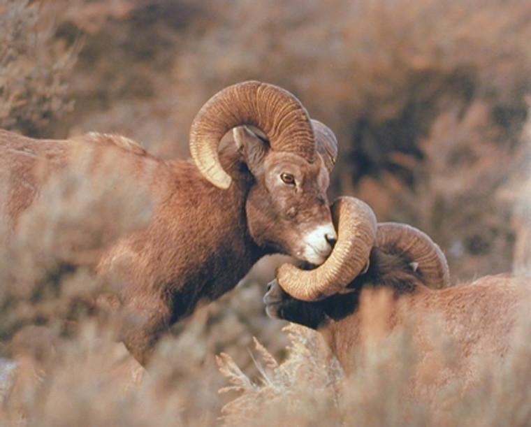 Big Horn Sheep Fighting Debi Ottinger Animal Art Print Poster (16x20)