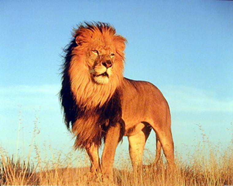 African Lion King Wild Animal Wildlife Wall Decor Art Print Poster (16x20)