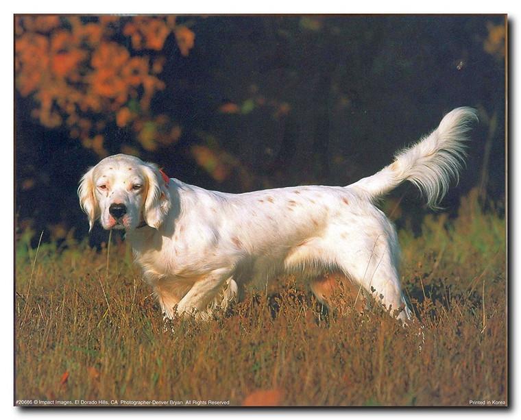 English Setter Dog Animal Wall Decor Art Print Poster (16x20)