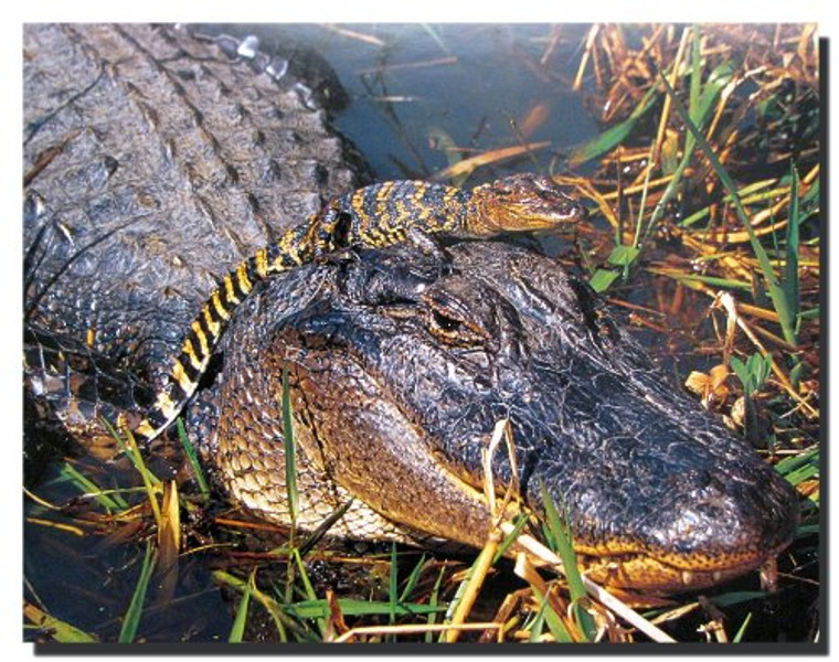 Alligator Mom with Baby on Head Wild Animal Wall Decor Art Print Poster (16x20)