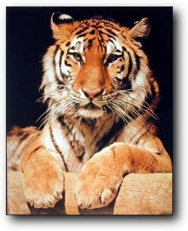 Bengal Tiger Wall Decor Close-up Wildlife Animal Picture Art Print (8x10)