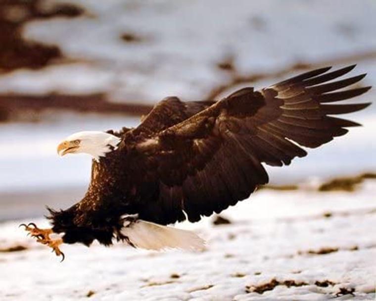 Bald Eagle Landing Wild Bird Animal Picture Wall Decor Art Print (8x10)