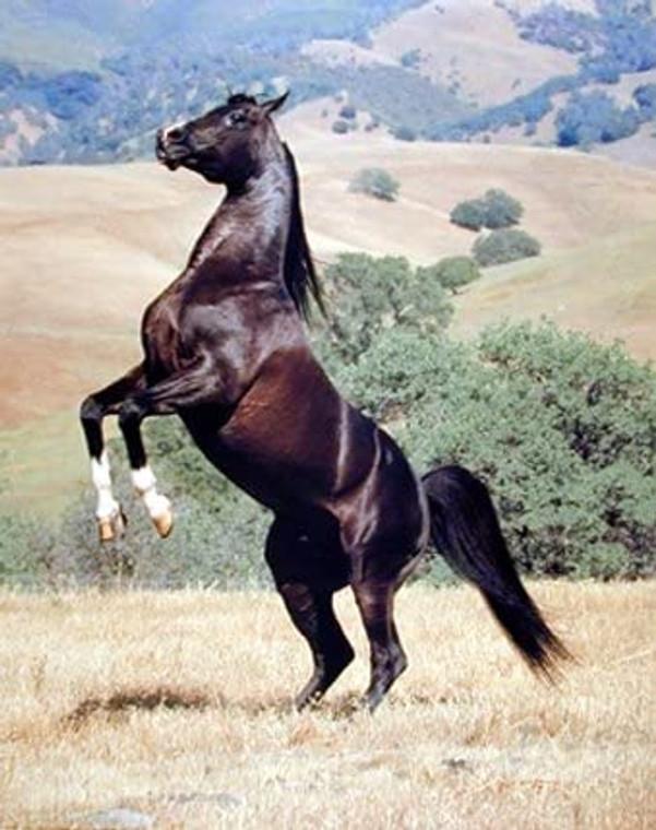Stallion Black Rearing Horse Wild Animal Wall Decor Art Print Picture (8x10)
