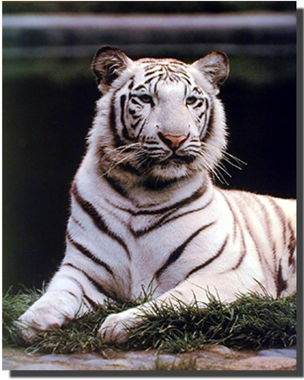 Wild White Bengal Tiger Wildlife Big Cat Animal Wall Decor Picture Art Print (16x20)