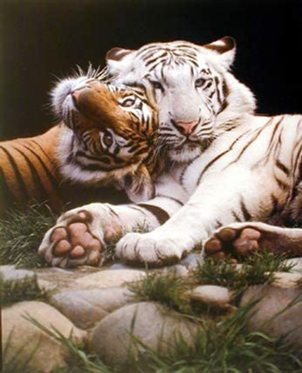 White and Yellow Bengal Tiger Wildlife Animal Wall Decor Art Print Poster (16x20)