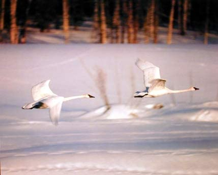 Canadian Snow Geese Nature Wall Decor Art Print Poster (16x20)
