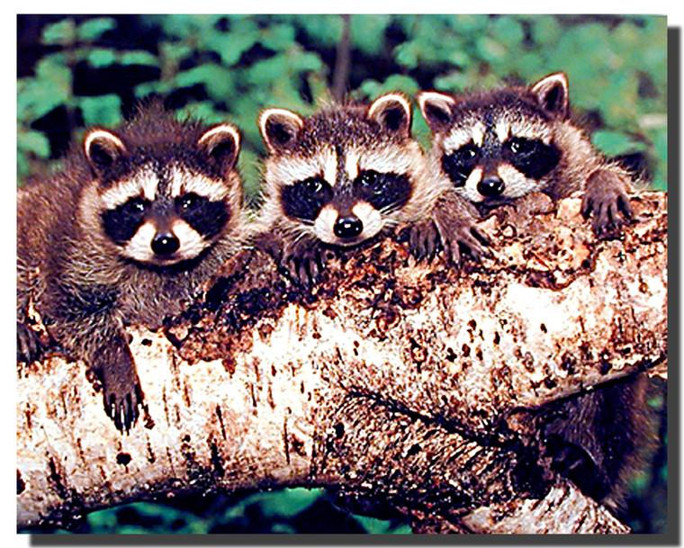 Three Raccoons Poster