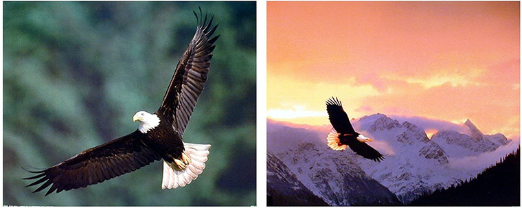 Flying Bald Eagle Bird Sunset Wildlife Animal Picture Two Set 16x20 Wall Decor Art Print Poster