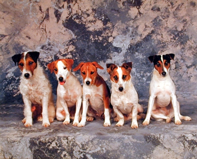 Jack Russell Terriers Poster