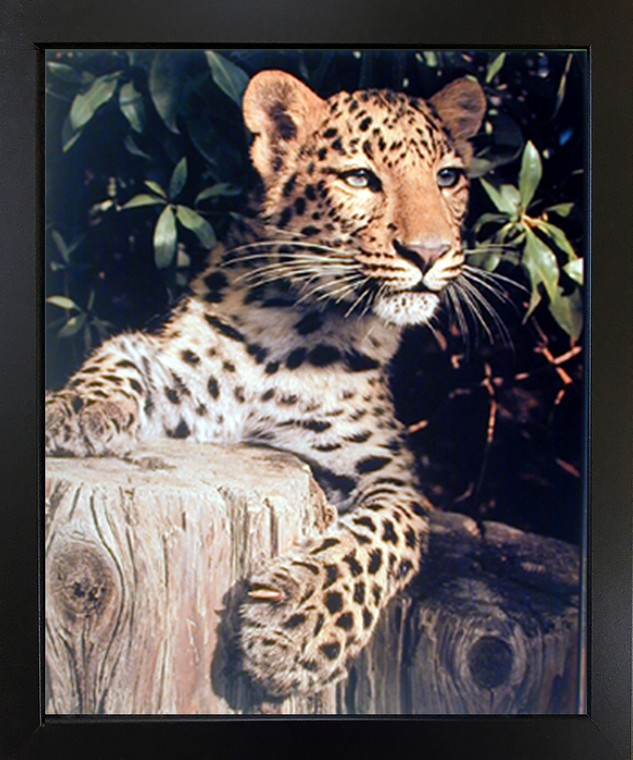 Impact Posters Gallery Leopard Framed Wall Decoration (Panther, Jaguar, Big Cat) Wild Animal Black Picture Art Print