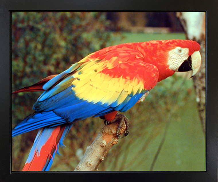 Impact Posters Gallery Red Macaw Parrot Bird Animal Kids Room Wall Decor Black Framed Picture Art Print