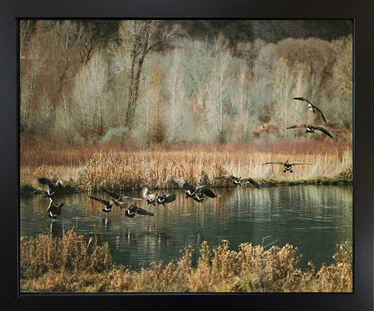 Canadian Geese on Lake McGraw Wildlife Birds Wall Decor Black Framed Picture Art Print (18x22)