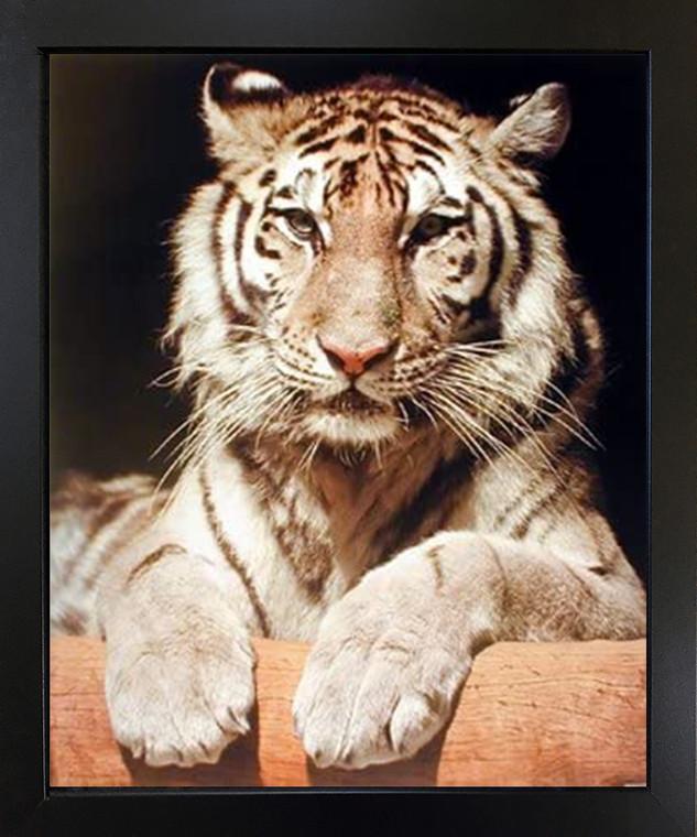 White Bengal Tiger Close-up Wildlife Feline Animal Wall Decor Black Framed Picture Art Print (18x22)